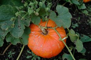 Pumpkin, Whidbey Island
